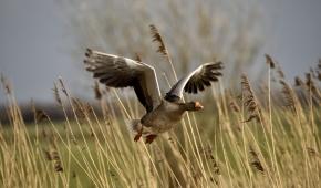 grauwe gans vliegt uit riet